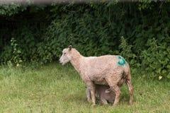 Idillic landscape with sheep, lambs, ram on field Royalty Free Stock Image