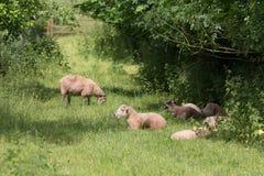 Idillic landscape with sheep, lambs, ram on field Royalty Free Stock Photo