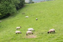 Idillic landscape with sheep, lambs, ram Stock Photography