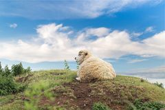Idillic landscape with sheep, lambs, ram Royalty Free Stock Images