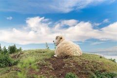 Idillic-Landschaft mit Schafen, Lämmer, RAM Lizenzfreie Stockbilder