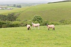 Idillic-Landschaft mit Schafen, Lämmer, RAM auf einem perfekten saftigen gree Lizenzfreies Stockfoto