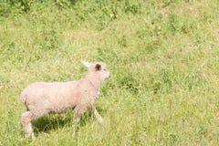 Idillic-Landschaft mit Schafen, Lämmer, RAM auf einem perfekten saftigen gree Stockfotos