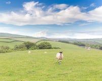Idillic-Landschaft mit Schafen, Lämmer, RAM auf einem perfekten saftigen gree Stockfotografie
