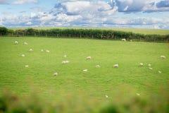 Idillic-Landschaft mit Schafen, Lämmer, RAM auf einem perfekten saftigen gree Stockbilder