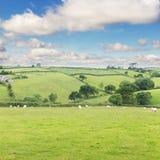 Idillic-Landschaft mit Schafen, Lämmer, RAM auf einem perfekten saftigen gree Lizenzfreies Stockbild