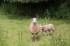 Idillic-Landschaft mit Schafen, Lämmer, RAM auf Feld Stockfotografie