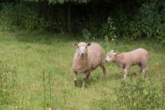 Idillic-Landschaft mit Schafen, Lämmer, RAM auf Feld Lizenzfreie Stockfotografie