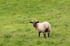 Idillic-Wiesenlandschaft mit Schafen, Lämmer, RAM Lizenzfreies Stockfoto