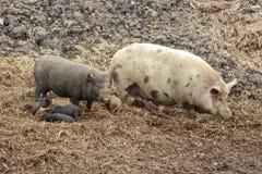 idillio della famiglia con i maiali nella regione selvaggia immagine stock