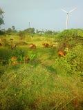 Idillio rustico moderno di contaminazione variopinta pastorale nel parco eolico dell'India Fotografia Stock Libera da Diritti