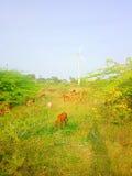 Idillio rustico moderno variopinto pastorale nel parco eolico dell'India Immagine Stock