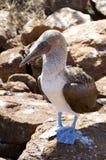 Idiot aux pieds bleu - îles de Galapagos Images libres de droits