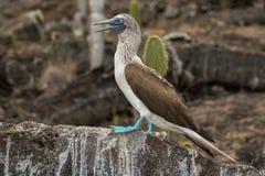 idiot Bleu-aux pieds - îles de Galapagos Image libre de droits