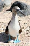 idiot Bleu-aux pieds, Galapagos Image stock