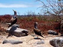 Idiots aux pieds bleus aux îles de Galapagos Photos stock