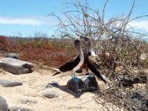 Idiots aux pieds bleus aux îles de Galapagos Images libres de droits