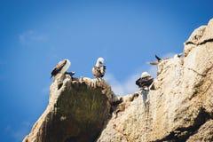 Idiots péruviens dans l'Islas Ballestas, péninsule de Paracas, Pérou Photos libres de droits