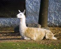 Idisslande däggdjur för lamahusdjur av Sydamerika Anderna den berg klyva-traskade flockblueseaen arkivbild
