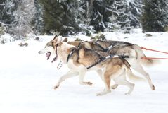 Iditarod多壳的雪撬竞争 图库摄影