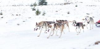 Iditarod多壳的雪撬竞争 库存照片