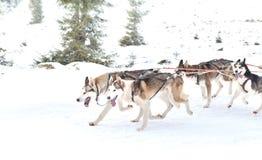 Iditarod多壳的雪撬竞争 免版税库存照片