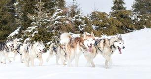 Iditarod多壳的雪撬竞争 免版税库存图片