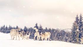 Iditarod多壳的雪撬竞争 库存图片