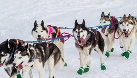 Iditarod拉雪橇狗 免版税库存图片