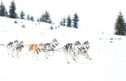 Iditarod足迹拉雪橇狗赛跑冬天背景 免版税库存照片