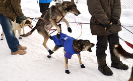 Iditarod 2015 Στοκ εικόνα με δικαίωμα ελεύθερης χρήσης