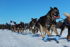 Iditarod-Hunderodeln Lizenzfreie Stockfotos