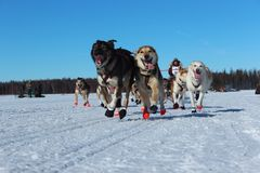 Iditarod race in Alaska Royalty Free Stock Photo
