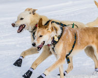Iditarod-Schlittenhunde Stockfotografie