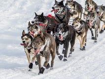 Iditarod-Schlittenhunde Stockfoto