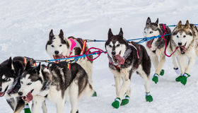 Iditarod sled dogs Royalty Free Stock Image