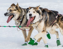 Iditarod sled dogs Royalty Free Stock Photos