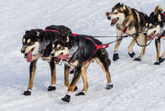 Iditarod sled dogs Royalty Free Stock Images