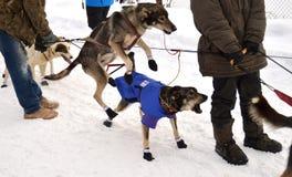 Iditarod 2015 Royalty Free Stock Image