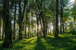 Idless Bluebell деревянное в Корнуолле Великобритании Англии Стоковое Фото