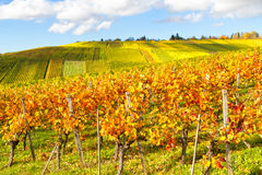 Idllic vineyard in autumn. Colorful vineyard in autumn on a sunny day Stock Photography