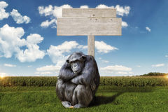 Idly chimpanzee, sitting in front of a wooden sign Stock Image