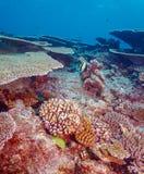 Idolo di moresco (zanclus cornutus) vicino a Coral Reef Fotografia Stock