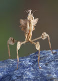Idolomantis on rock Royalty Free Stock Image