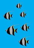 Idols. Moorish Idol (Zanclus cornutus) the type of fish known as Gill in Finding Nemo Royalty Free Stock Image