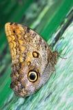 Idomeneus de Caligo de la mariposa Fotografía de archivo