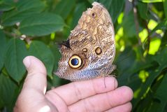 Idomeneus Giant Owl Butterfly (Caligo idumeneus) Royalty Free Stock Photo