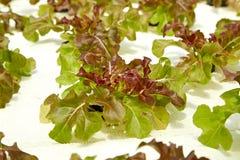 Idroponico organico dell'insalata verde Immagini Stock