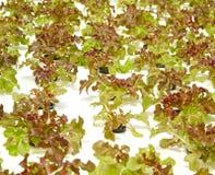 Idroponico organico dell'insalata verde Immagine Stock Libera da Diritti
