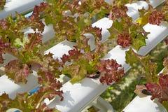 Idroponico organico dell'insalata verde Fotografia Stock Libera da Diritti